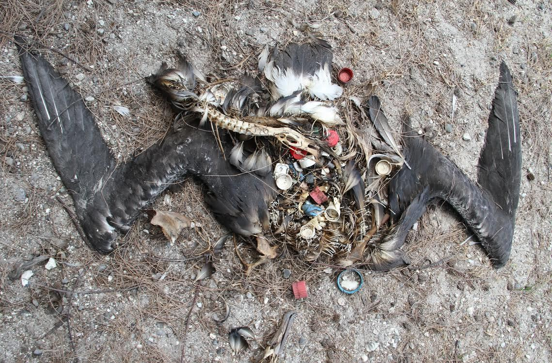 Deceased albatross on Midway Island, (U.S. Fish and Wildlife Service, June 2014)